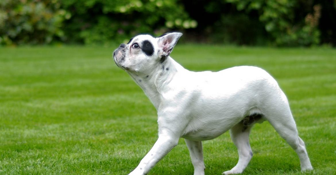 Degenerative myelopathy does not exist with French Bulldogs